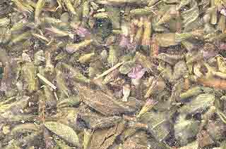 AzureGreen H16PENC 1oz Pennyroyal Leaf Cut - Mentha Pulegium